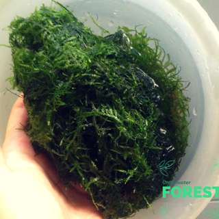 Aquatic plant - Mosses (anchor, weeping, java, christmas)