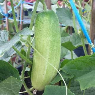 Veg Plant - Cucumber (4 Ft)