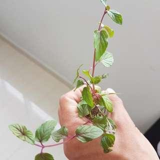Chocolate Mint -herb