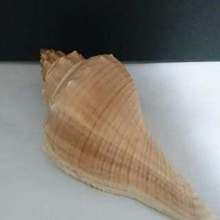 貝殼 貼近耳朵有回音
