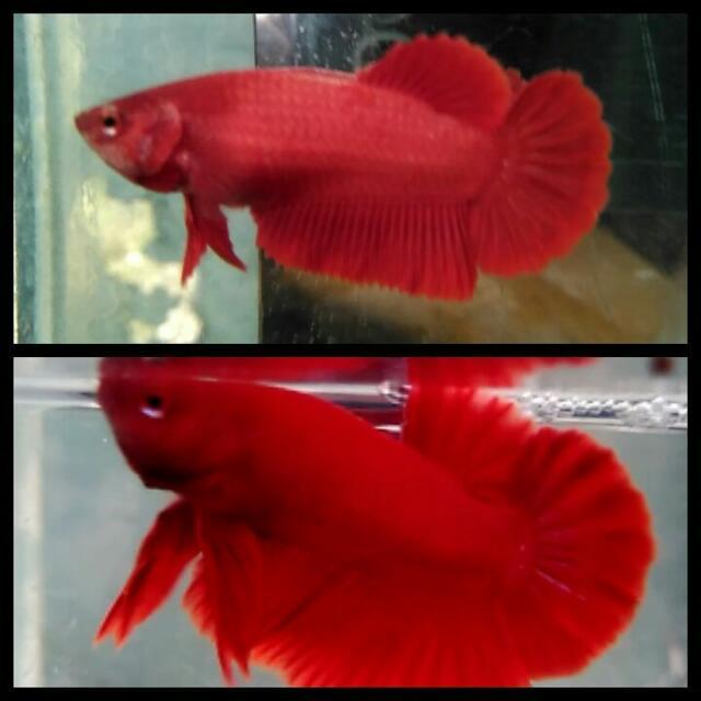 Ikan Cupang PK red
