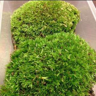 Imported Holland Moss