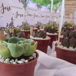Cheapest Succulent Souvenirs