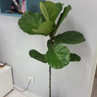 Fiddle Fig Leaf Tree - Indoor Plant
