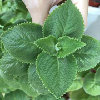 Grow And Brew Your Own Tea (Indian Borage)