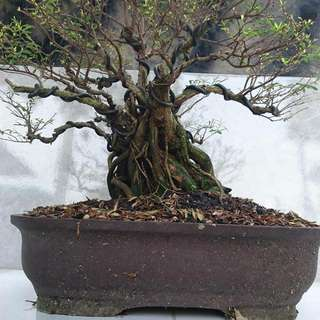 Bonsai CENDRAWASI