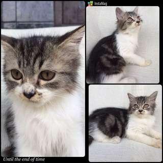 Lepas Adopt Kitten