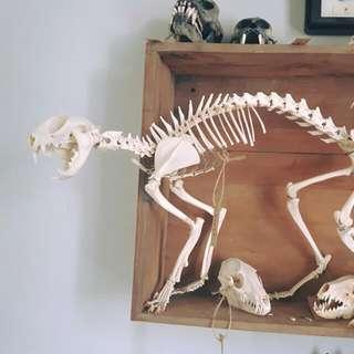 貓咪骨骼標本 真骨 骨架