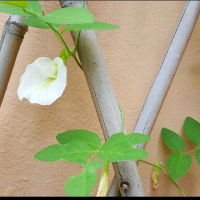 White Butterfly Pea Seeds Singapore