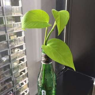 Devil's Ivy (Money plant) Pothos Indoor Plant