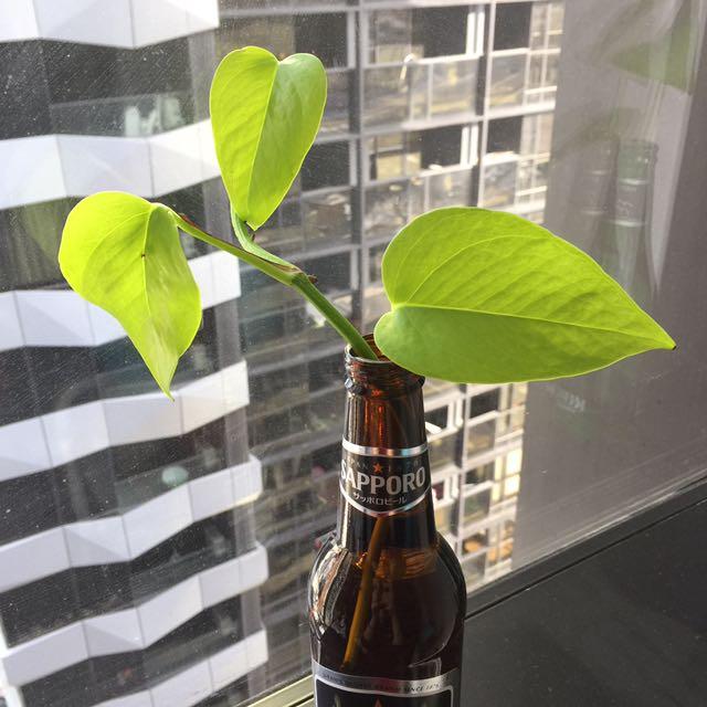 Devil's Ivy (Money Plant) Pothos Indoor Plant
