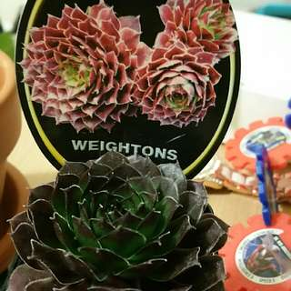 Small Pot With Small Plant Weigtons Succulent