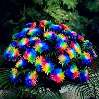 Biji Bunga Krisan Pelangi (Rainbow Chrysanthemum)