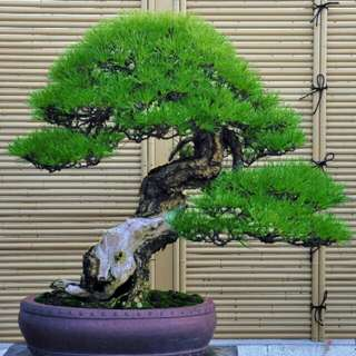 Bibit Biji Japanese Pine Tree Biji Pohon Pinus Thunbergii
