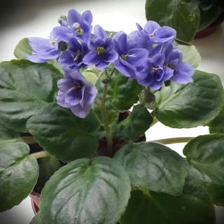Home Grown African Violet