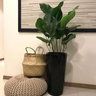 Plant - Thaumatococcus daniellii In Porcelain Pot W Lecca Top Up ($68/$88)
