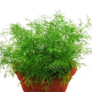 Dill Herb Seed