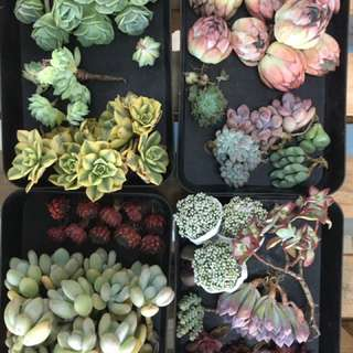 Largest Rare Imported succulents