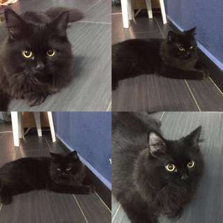 Looking for Female Cat (Mating)
