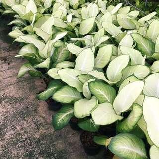 ✨LUSH Dieffenbachia Exotica Camille (Perfect Indoor Plant!)🌿✨