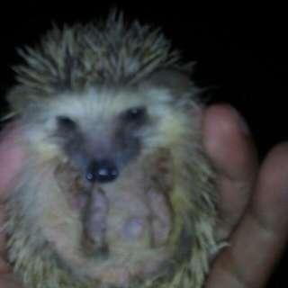 Hedgehog Male Minimal Pinto