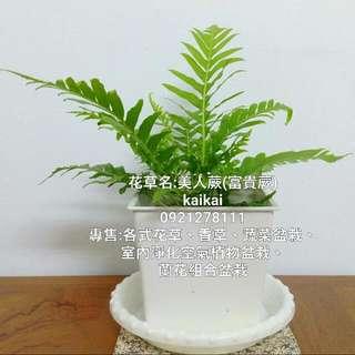 富貴蕨/美人蕨/療癒系植物/蕨類植物/綠色盆栽