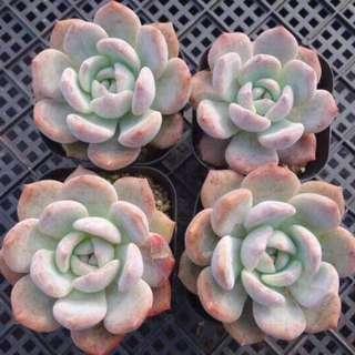 Monroe Succulent