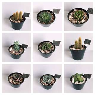 Kaktus succulent