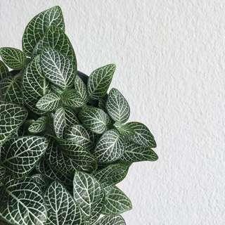 Fittonia (Nerve Plant)