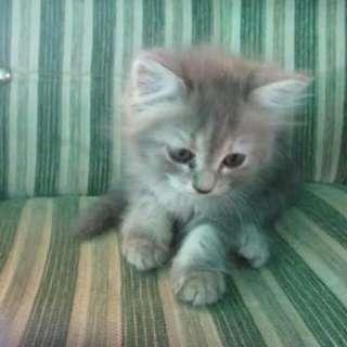 #dicari Yang Jual Kucing Persia Atau Anggora