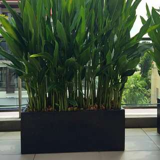 1 trough of heliconia psittacorum in fibre pot