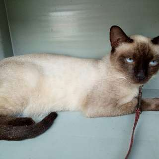 Siamese cats (both male and female currently pregnant)