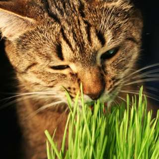 Cat grass ( Organic Wheatgrass). Fresh And Always Instock.