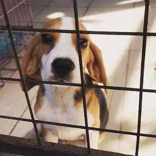 Pure Breed Beagle