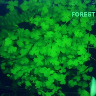 "Aquatic Plant - Hydrocotyle Tripartita sp ""Japan"""