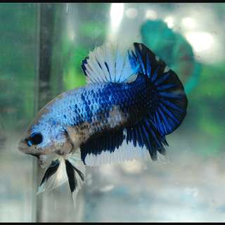Looking For Junior Blue Giant Indonesia Male