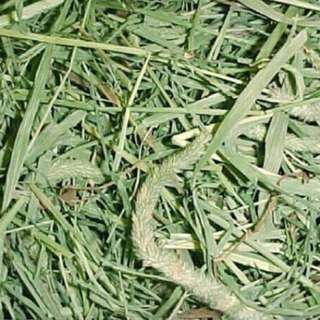 Fresh and Sweet aroma 🐰Timothy Hay For Bunnies🐇 Guinea Pigs & Chinchillas