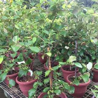 Herb Plant - Ziziphus Mauritiana / Chinese date, Chinese fig, Chinese jujube, cottony jujube, desert apple, Indian cherry, Indian date, Indian jujube, Indian plum, jujuba, Malay jujube 红枣 (4-4.5 Ft)🍒