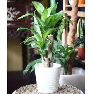 Potted Dracaena fragrans (Yellow Corn plant)