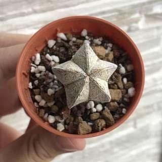Astrophytum myriostigma onzuka succulent cactus