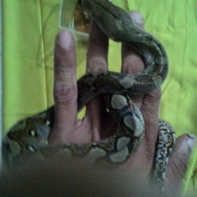 Anak Ular Sawa Batik Python Reticulatus Everything Else