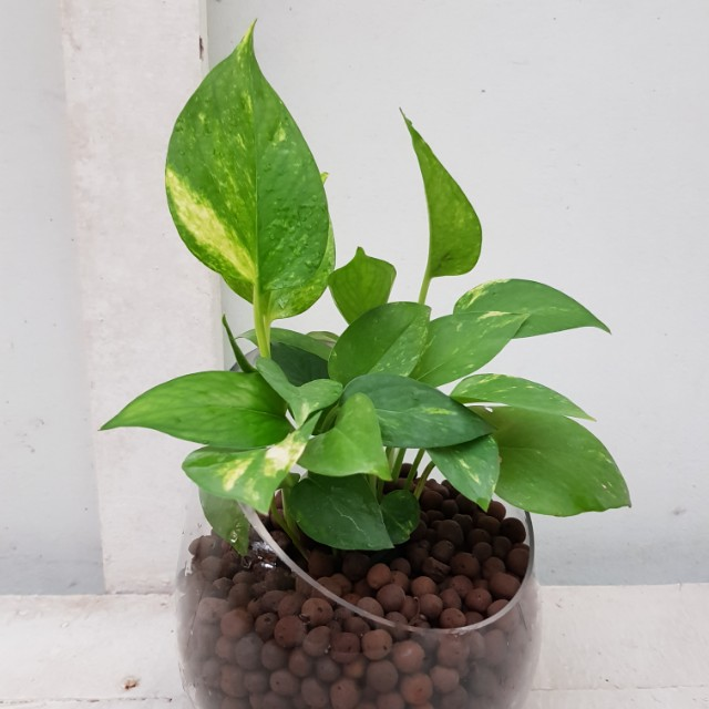 Lovely Lucky Evergreen Beautiful Money Plants With Specical Glass