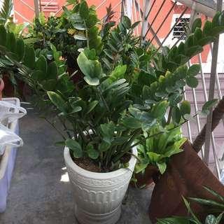 Zuzu Plant Or Emerald Plant With Big White Pot