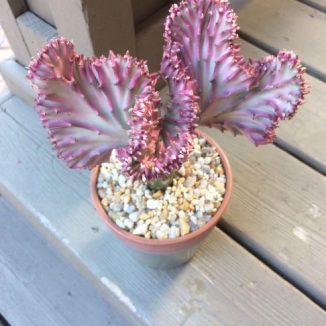 Pink coral cacti