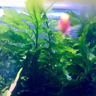 Aquatic Plants - Bobitis