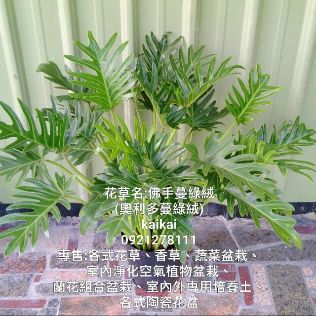 佛手蔓綠絨/奧利多蔓綠絨/密葉小天使/室內天然空氣淨化機