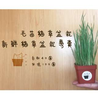 新鮮貓草盆栽-自取40元