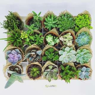 Children's Day Special! Great Gift for all Occasions Birthday/ Congrats/ Farewell/ House warming/ Event Gifts- Real Plant Mini Succulents/ Cactus