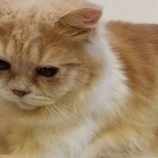 Cat Mating Service (MALE CAT)