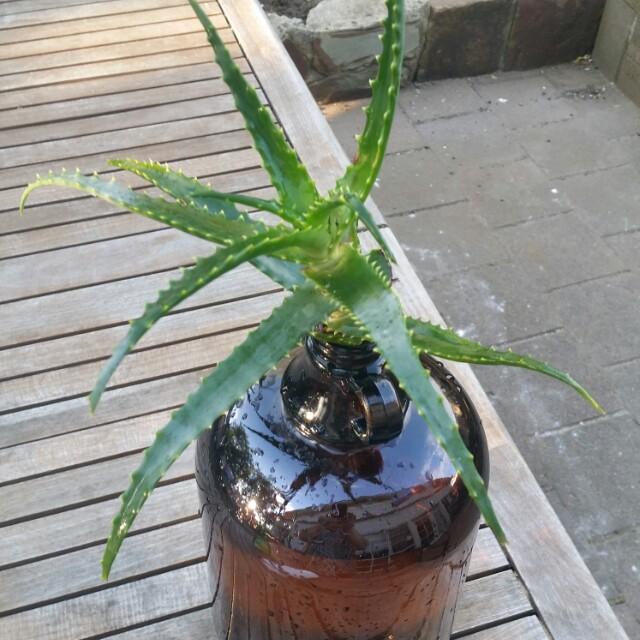 Aloe in Vintage glass bottle